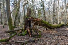 Enormt lönnträd som är brutet i vårskog Royaltyfri Bild