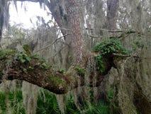 Enormt mossigt träd Arkivbilder