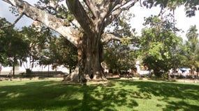 Enormt regnträd Royaltyfri Foto