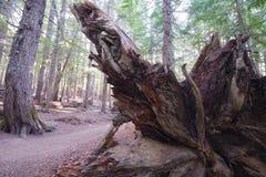 Enormt rotar av ett stupat träd i den gamla barrskogen Oregon Royaltyfria Bilder