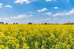 Enormt slovakiskt, rapsfröfält som planteras för bio bränsle Arkivbild
