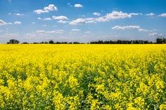 Enormt slovakiskt, rapsfröfält som planteras för bio bränsle Fotografering för Bildbyråer
