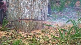 Enormt trä såg chainsawen in i stycken i ultrarapid stock video
