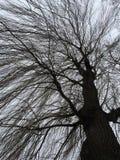 Enormt träd i vintertid Arkivbild