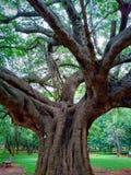 Enormt träd med stora filialer arkivfoton