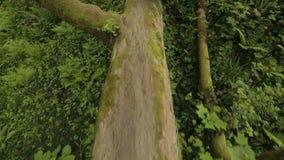Enormt träd som ligger på jordning som blockerar passagen, följder av orkanen, katastrof stock video
