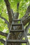 Enormt valnötträd med stegen Arkivfoton