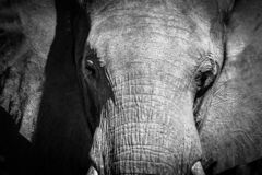 Enourmous african elephant in wild Namiba bush in Etosha park. Wild africa animal on the Namiba savanna bush african Big elephant captured in wilderness, photo stock photo