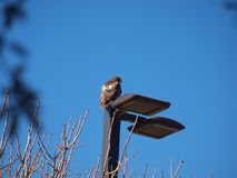 Enríe el agujero de la luz de Hawk Sits On New LED de la cola foto de archivo libre de regalías