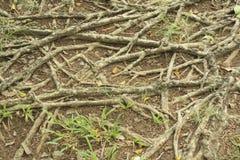 Enraíze varas à terra para a fotossíntese, marrom da raiz na terra com umidade imagens de stock