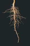 Enracine l'arbre Photographie stock libre de droits