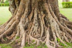 Enracine l'arbre Images libres de droits