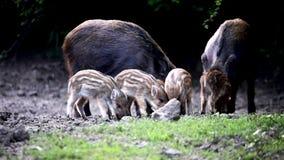 Enracinement de porcs sauvages, de truie et de porcelets clips vidéos