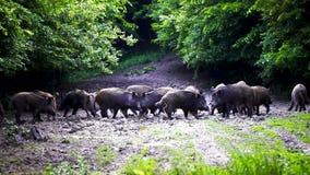 Enracinement de porcs sauvages, de truie et de porcelets banque de vidéos