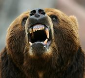 Enraged brown bear
