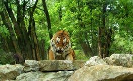 Enraged Tiger Royalty Free Stock Photos