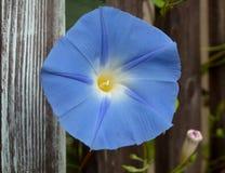 Enredadera azul, flor de la correhuela Imagenes de archivo