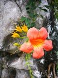 Enredadera de trompeta china que florece debajo del sol Fotos de archivo