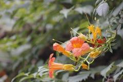 Enredadera de trompeta china que florece debajo del sol Imagen de archivo libre de regalías