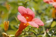 Enredadera de trompeta china que florece debajo del sol Imagen de archivo