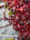 Enredadera de Virginia, colores del otoño, con las hojas verdes contra una pared de piedra fina fotos de archivo libres de regalías