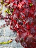 Enredadera de Virginia, colores del otoño, con las hojas verdes contra una pared de piedra fina imágenes de archivo libres de regalías