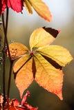 Enredadera de Virginia con las hojas rojas en upp que sube del contraluz un árbol Imagen de archivo libre de regalías