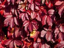 Enredadera de Virginia, hiedra cinco-con hojas, o cinco-dedo Fotografía de archivo libre de regalías