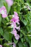 Enredadera - flor-taza púrpura en un fondo de hojas verdes Fotografía de archivo libre de regalías