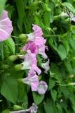 Enredadera - flor-taza púrpura en un fondo de hojas verdes Imagen de archivo