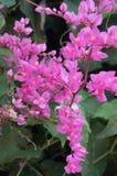 Enredadera mexicana, flores de Bush de la abeja Foto de archivo