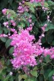 Enredadera mexicana, flores de Bush de la abeja Fotos de archivo libres de regalías