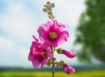 Enredadera rosada Foto de archivo