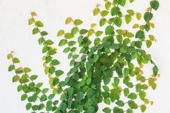 Enredadera verde en la pared blanca Imágenes de archivo libres de regalías