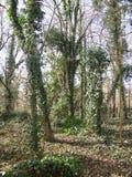 Enredaderas que crecen en los troncos de árboles Imagen de archivo