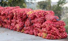 Enrede los bolsos de las manzanas recientemente escogidas para la industria del jugo el madrugada foto de archivo libre de regalías