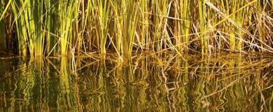 Enredo de cañas y de reflexiones del agua fotografía de archivo