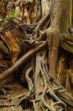 Enredo de raíces Imagen de archivo libre de regalías