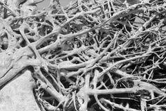 Enredo del Driftwood en blanco y negro imagenes de archivo