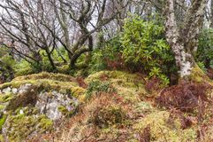Enredo del rododendro Foto de archivo