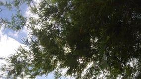 Enregistrement vidéo, feuille en bambou verte, ciel bleu de texture tropicale verte de feuillage et fond de nuage banque de vidéos