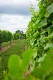 Enrejado del viñedo de la montaña de Afton Foto de archivo