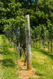Enrejado del viñedo y vid de uva Imagen de archivo
