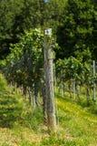 Enrejado del viñedo y vid de uva Fotografía de archivo