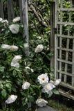 Enrejado y rosas blancas Fotos de archivo libres de regalías
