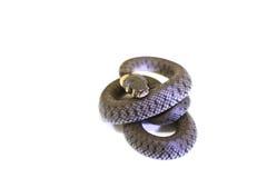 Enrollamiento de la serpiente de hierba Fotos de archivo libres de regalías
