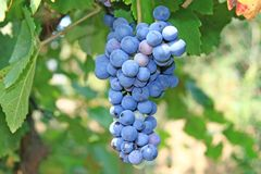 Enrollamiento de la uva. Imagenes de archivo