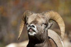 Enrollamiento del labio de las ovejas de Bighorn Imagen de archivo libre de regalías