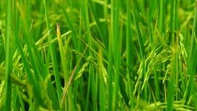 Enrolle el arroz de arroz que sopla lento en campos del arroz y la plantación del arroz en Tailandia Granja orgánica del arroz en metrajes