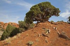 Enrolle el enebro soplado de la montaña rocosa y la arcilla roja Fotos de archivo